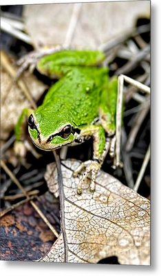 Pacific Tree Frog 2a Metal Print by Sharon Talson
