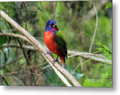 Metal Print featuring the photograph Painted Bunting Photo by Meg Rousher