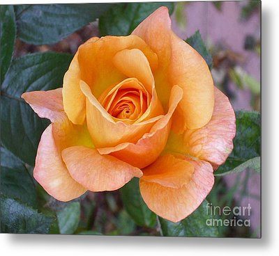 Pale Orange Rose Metal Print