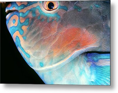 Parrotfish 2 Metal Print by Dawn Eshelman