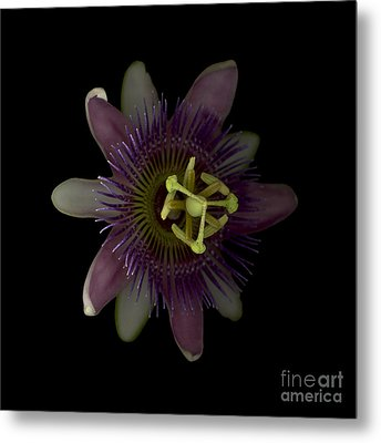 Passion Angle Front Metal Print by Heather Kirk