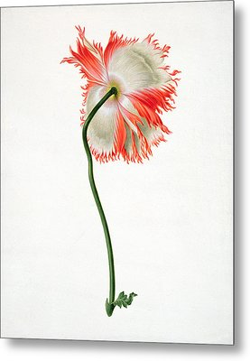 Field Poppy Metal Print by Pieter Withoos