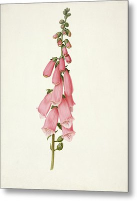 Foxglove Metal Print by Pieter Withoos
