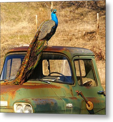 Peacock On Old Gmc Truck 3 Metal Print by Loni Collins