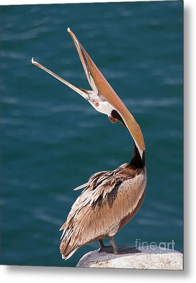 Metal Print featuring the photograph Pelican Stretch by Dale Nelson
