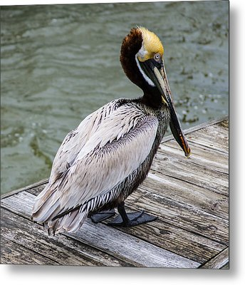 Pelican Watch Metal Print by Gregg Southard