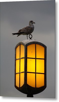 Pensive Gull Metal Print by Rexford L Powell