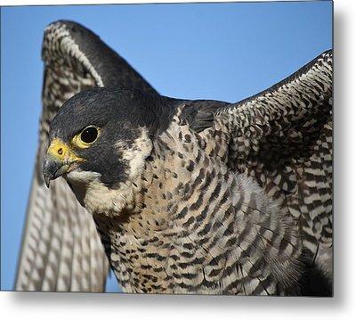 Peregrine Falcon Up Close Metal Print by Paulette Thomas