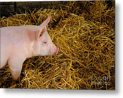 Pig Standing In Hay Metal Print by Amy Cicconi