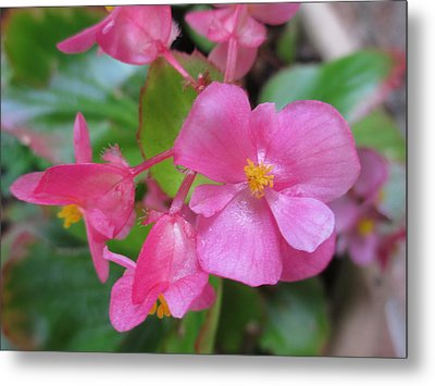 Pink Begonias Metal Print by Barbara Yearty