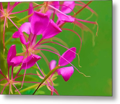 Pink Cleome Or Spider Flower  Metal Print by RM Vera