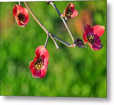 Pink Dogwood Blossoms Metal Print by Chris Flees