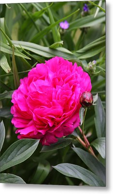 Metal Print featuring the photograph Pink Peony by Vadim Levin