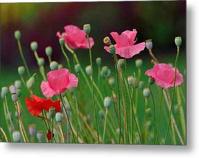Metal Print featuring the photograph Pink Poppies by Kathy King