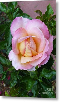Pink Rose Flowering Metal Print