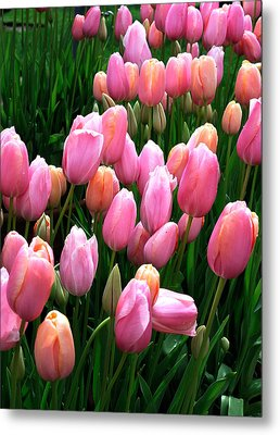 Metal Print featuring the photograph Pink Tulips by Haleh Mahbod