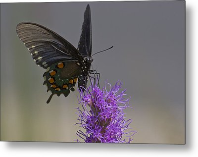 Pipevine Alights Metal Print by Shelly Gunderson