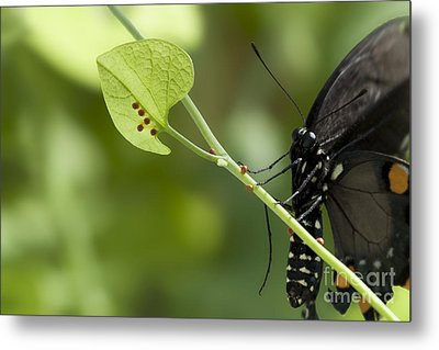 Metal Print featuring the photograph Pipevine Swallowtail Mother With Eggs by Meg Rousher