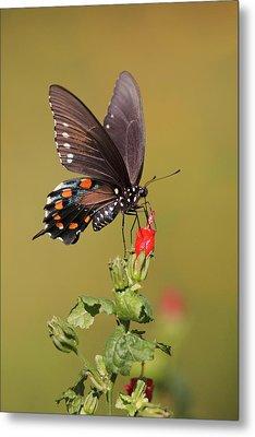Pipevine Swallowtail Nectaring Metal Print