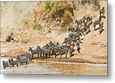 Plains Zebra About To Cross The Mara River Metal Print by Liz Leyden