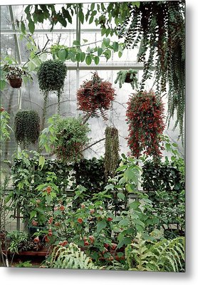 Plants Hanging In A Greenhouse Metal Print by Wiliam Grigsby