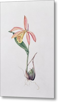 Pleione Zeus Wildstein Metal Print by Mary Kenyon-Slaney