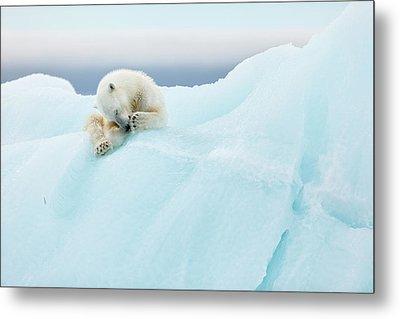 Polar Bear Grooming Metal Print