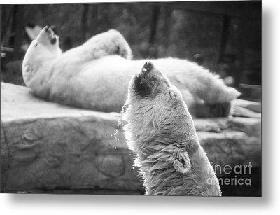Polar Bears Metal Print by Michael Ver Sprill