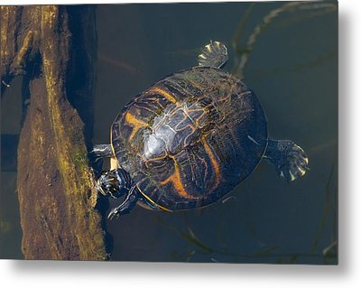 Pond Slider Turtle Metal Print by Rudy Umans