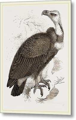 Pondicherry Vulture Metal Print by Litz Collection