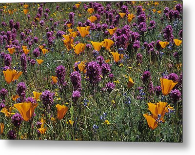 Poppies And Owl Clover Metal Print