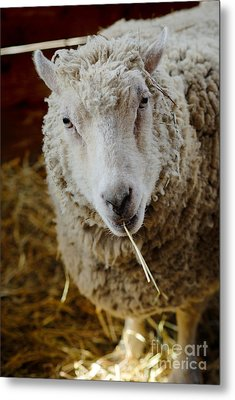 Portrait Of A Sheep Eating Hay Metal Print by Amy Cicconi