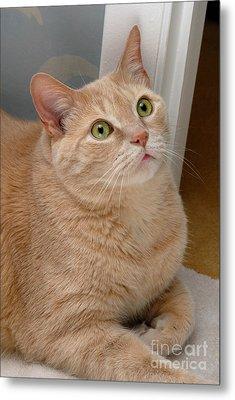 Portrait Orange Tabby Cat Metal Print