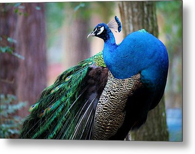 Pretty Peacock Metal Print by Paulette Thomas