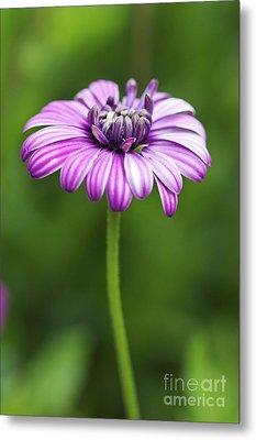 Purple Daisy Metal Print by Pamela Gail Torres