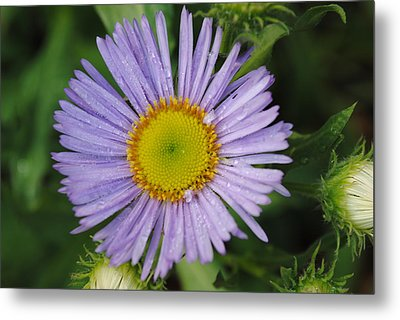 Metal Print featuring the photograph Purple Daisy by Robert  Moss