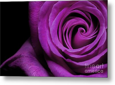 Purple Roses Closeup Metal Print by Boon Mee