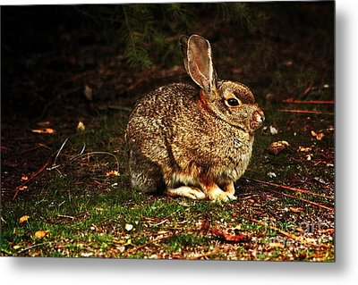 Metal Print featuring the photograph Rabbit  by Marjorie Imbeau