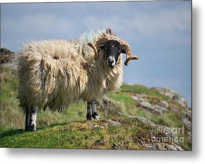 Metal Print featuring the photograph Ram by Juergen Klust