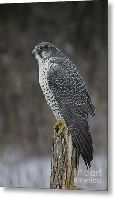 Rare Gyrfalcon Raptor In The Snow Metal Print by Inspired Nature Photography Fine Art Photography