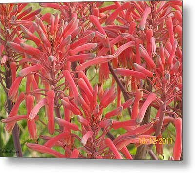 Red Aloe Blooms Metal Print by Belinda Lee