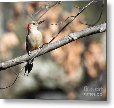 Red Belly Metal Print by Caisues Photography