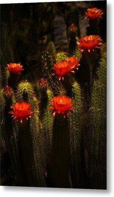 Red Cactus Flowers II  Metal Print by Saija  Lehtonen