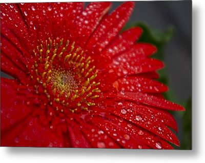 Red Gerber In The Rain Metal Print by Shelly Gunderson