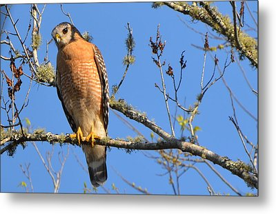Red Shouldered Hawk Metal Print by Jodi Terracina
