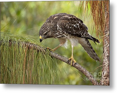 Metal Print featuring the photograph Red Shouldered Hawk Photo by Meg Rousher