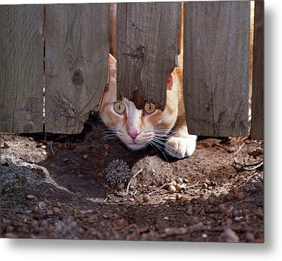 Red Tabby Cat Looking Under Fence Metal Print