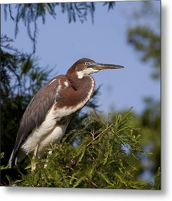 Metal Print featuring the photograph Red Tricolor Heron I by Kathy Ponce