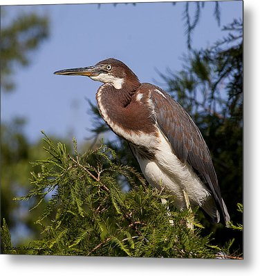 Metal Print featuring the photograph Red Tricolor Heron II by Kathy Ponce