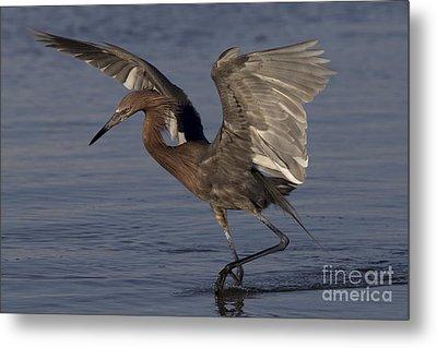 Reddish Egret Fishing Metal Print by Meg Rousher